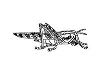 Saltamontes_Grasshopper