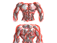 Front and back muscles